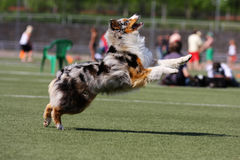 Dog playing in flying disk Royalty Free Stock Photography