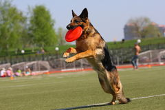 Dog playing in flying disk stock photos