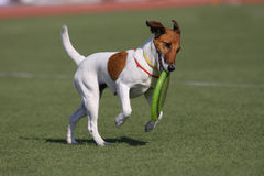 Dog playing in flying disk. Frisbee stock photography