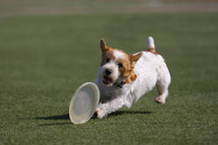 Dog playing in flying disk. Frisbee stock image