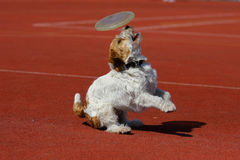 Dog playing in flying disk. Frisbee stock images