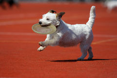 Dog playing in flying disk. Frisbee royalty free stock photos