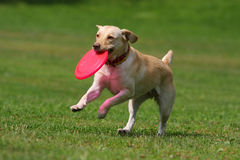 Dog playing in flying disk Royalty Free Stock Images