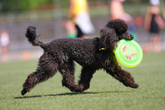 Dog playing in flying disk. Frisbee royalty free stock photo