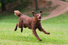 Dog playing in flying disk. Frisbee stock photos