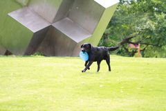 Dog playing in flying disk. Black Dog playing in flying disk, frisbee on grass royalty free stock image