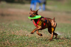 Dog playing with flying saucer Royalty Free Stock Photo