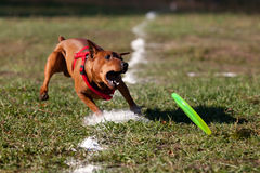 Dog playing with flying saucer Stock Photos