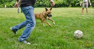 Dog playing football. With some guys Royalty Free Stock Photography