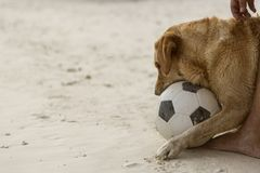Dog playing football stock photo