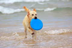 Dog playing with frisbee. A beautiful young wet thoroughbred Golden Retriever dog playing with a blue frisbee and running in the water Stock Photography