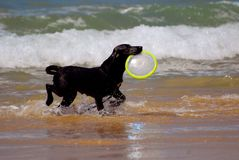 Dog playing with frisbee. A beautiful young wet black Labrador Retriever dog playing with a blue frisbee and running in the water Stock Photos