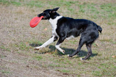 Dog playing with frisbee Stock Images