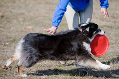 Dog playing with frisbee Royalty Free Stock Photos