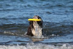 Dog Playing with a Frisbee at the Beach. A Portuguese water dog playing with a frisbee at the beach royalty free stock image