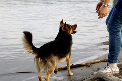 Dog playing with a girl on river beach. Girls hands and legs. Water and sand bacground stock images