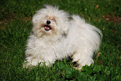 Dog playing in the grass. White dog playing in a park Royalty Free Stock Image