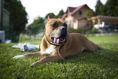Dog playing on the grass Royalty Free Stock Images
