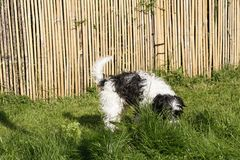 Dog playing in grass. Jackdoodle dog playing in grass Stock Images