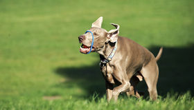 Dog playing Stock Photography