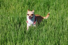 Dog Playing in a Grass Royalty Free Stock Photography
