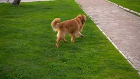 Dog is Playing on Grass in Natural Park stock video footage