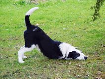 Dog playing on the grass Royalty Free Stock Photos