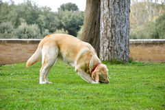 The Dog is playing on the grass Royalty Free Stock Image