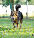 Dog playing on the grassland Royalty Free Stock Photos