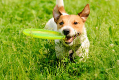 Dog playing at green grass with flying disk Royalty Free Stock Photography