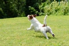 Dog playing at green lawn running from camera Royalty Free Stock Photos
