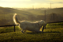 Dog playing in the hills of Tuscany Royalty Free Stock Photo