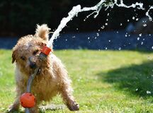 Dog playing with hose pipe Royalty Free Stock Photos