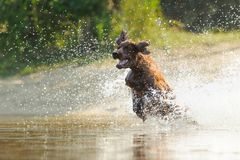 Free Dog Playing In The Water Of The Beach Royalty Free Stock Images - 110237459
