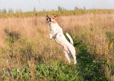 Dog playing, jumping high at summer meadow Stock Image