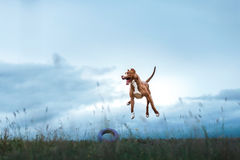 Dog playing, jumping, pit bull terrier. Pit bull terrier dog active in the sky stock images