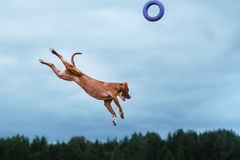 Dog playing, jumping, pit bull terrier. Pit bull terrier dog active in the sky stock photography