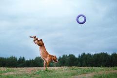 Dog playing, jumping, pit bull terrier Stock Photos