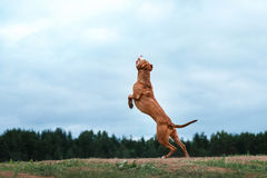 Dog playing, jumping, pit bull terrier. Pit bull terrier dog active in the sky royalty free stock photo