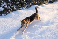 Dog jumping in snow royalty free stock image