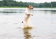 Dog playing, jumping and splashing in summer river water Stock Photos