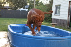 Dog playing in kiddy pool. Dogue de bordeaux playing in a paddling pool Royalty Free Stock Photography