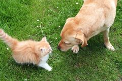 Dog playing with kitten. Close up of dog playing with kitten on grass stock image