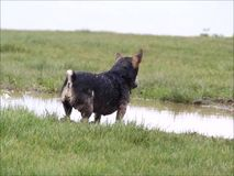 Dog playing in muddy water stock video