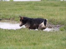 Dog playing in muddy water stock video footage