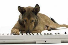 Dog playing music on keyboard stock image