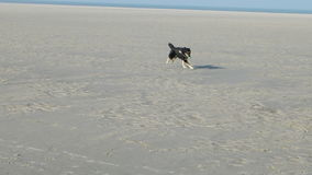 Dog playing on a North Sea Beach stock video