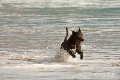 Dog Playing in the Ocean Stock Image