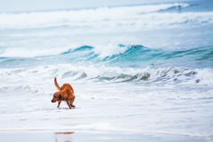 Dog Playing In Ocean With Copy Space Stock Photo