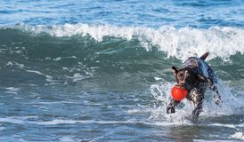 Dog Playing in the Ocean With a Red Ball. Photograph of a dog playing in the ocean with a red ball stock photography